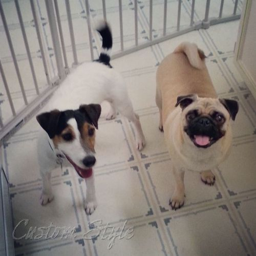 Wensley&VisitingPug